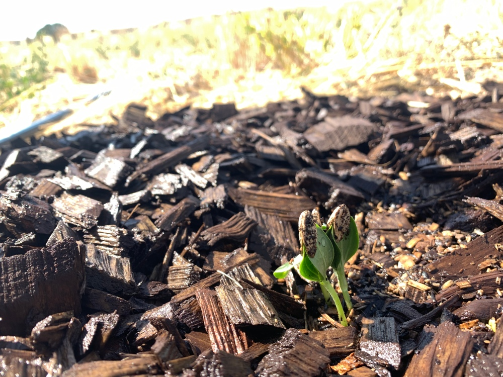 Plant seeded in three inches of compost covered with wood chips.