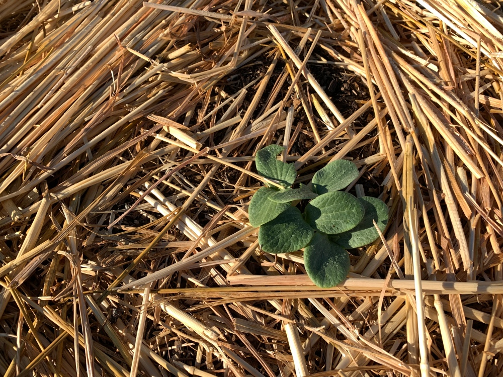 Plant seeded in three inches of compost covered with straw.